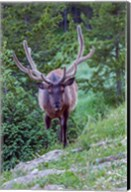 Bull Elk In The Rocky Mountain National Park Forest Fine-Art Print