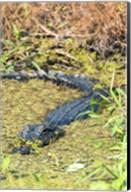 Alligator In St John River Fine-Art Print
