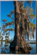 Pond Cyprus And Spanish Moss In A Swamp Fine-Art Print