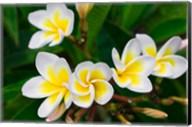 Plumeria Flowers, Island Of Kauai, Hawaii Fine-Art Print