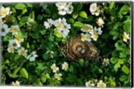 Song Sparrow Nest With Eggs, IL Fine-Art Print