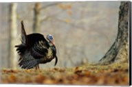 Eastern Wild Turkey Strutting, Illinois Fine-Art Print
