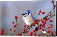 Blue Jay In Icy Green Hawthorn Tree Fine-Art Print