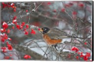 American Robin Eating Berry In Common Winterberry Bush Fine-Art Print