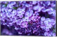 Close-Up Of A Purple Lilac Tree, Arnold Arboretum, Boston Fine-Art Print