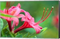 Pink Azalea, Massachusetts Fine-Art Print