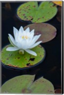 White Water Lily Flowering In A Pond Fine-Art Print