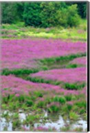 Purple Loosestrife Flowers In A Marsh, Oregon Fine-Art Print