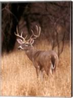 A White Tailed Deer Stays On Alert Fine-Art Print