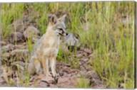 Gray Fox On A Hillside Fine-Art Print