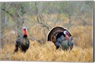 Rio Grande Wild Turkeys Fine-Art Print