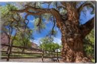 Old Cottonwood Tree And Fence Fine-Art Print