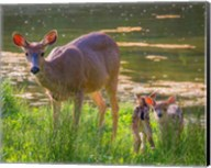 Blacktail Deer With Twin Fawns Fine-Art Print