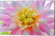 Close-Up Of A Pastel Dahlia Flower Fine-Art Print