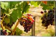 Merlot Grapes In A Vineyard Fine-Art Print