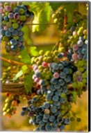 Cabernet Franc Block In Harvest Fine-Art Print