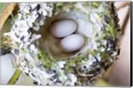 Rufous Hummingbird Nest With Eggs Fine-Art Print