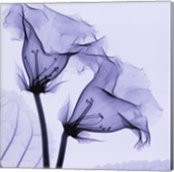 Gloxina Fine-Art Print