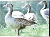 Goose crew Fine-Art Print