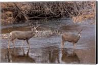 Mule Deer Buck and Doe Fine-Art Print