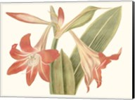 Antique Amaryllis IV Fine-Art Print