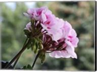 Pink Geranium Clusters Fine-Art Print