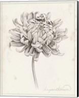 Graphite Chrysanthemum Study I Fine-Art Print