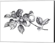 Apple Etching I Fine-Art Print