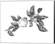 Apple Etching II Fine-Art Print