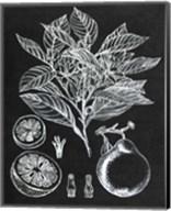 Citrus Botanical Study I Fine-Art Print