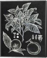 Citrus Botanical Study II Fine-Art Print