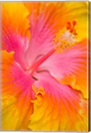 Pink And Yellow Hibiscus Flower,  San Francisco, CA Fine-Art Print