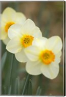 Closeup Of White Daffodils, Arlington, Virginia Fine-Art Print