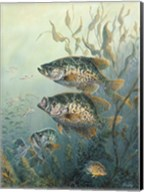 Black Crappies Fine-Art Print