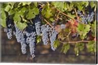 Close Up Of Cabernet Sauvignon Grapes In The Haras De Pirque Vineyard, Chile, South America Fine-Art Print