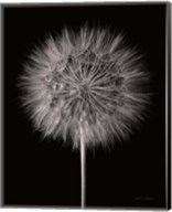 Dandelion Fluff on Black Fine-Art Print