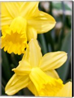Daffodil Bundle, New York City Fine-Art Print