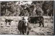 Black & White Steer Fine-Art Print