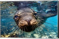 Galapagos Islands, Santa Fe Island Galapagos Sea Lion Swims In Close To The Camera Fine-Art Print