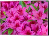 Hot Pink Azaleas In A Garden Fine-Art Print