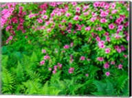 Delaware, Azalea Shrub With Ferns Below In A Garden Fine-Art Print