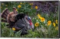 Tom Turkey In Breeding Plumage In Great Basin National Park, Nevada Fine-Art Print