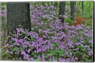 Azaleas In Bloom, Jenkins Arboretum And Garden, Pennsylvania Fine-Art Print