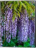 Purple Wisteria Blossoms Hanging From A Trellis Fine-Art Print