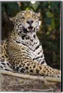 Close-Up Of A Jaguar Snarling Fine-Art Print