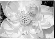 Close-Up Of American White Waterlily Flower Fine-Art Print