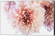 Peach Dahlias Light Fine-Art Print