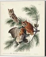 Pl 97 Little Screech Owl Fine-Art Print