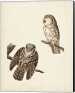 Pl 380 Tengmalm's Owl Fine-Art Print