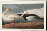 Pl 381 Snow Goose Fine-Art Print